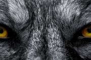 Łowca wilków