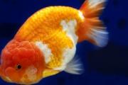 Złote rybki istnieją