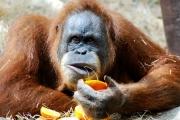 Orangutan zmuszany do nierządu