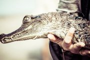 Aligator za piwo [video]
