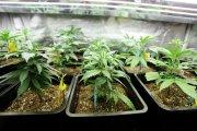 Legalne hodowle marihuany