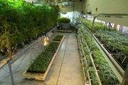 Rządowa hodowla marihuany