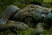 Jedzony żywcem przez Anakondę