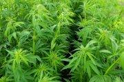 W Meksyku można uprawiać marihuanę na własny użytek!