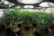 Więzienna uprawa marihuany