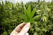 Poszukiwany tester marihuany