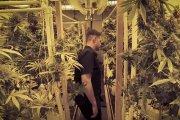 Krytyk marihuany - praca marzeń?