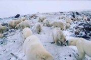 Masowa inwazja niedźwiedzi polarnych na Rosję