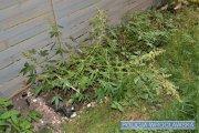 Hodował marihuanę w przydomowym ogródku