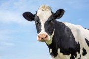 W trosce o planetę, burgerownia redukuje krowie gazy