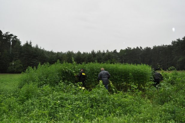 Las konopi w Gnieźnie. Uprawa warta 4 mln zł