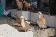 Gołębie wracają na polskie stoły