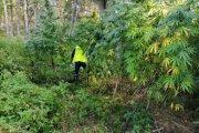 Policjanci trafili do zaczarowanego lasu. Rosły w nim konopie wielkości drzewek